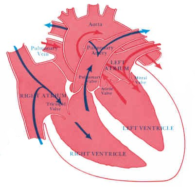 Picture of the heart showing directional blood flow within the four chambers.